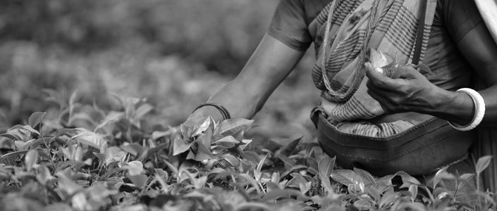 INDIA-ECONOMY-TEA INDUSTRY